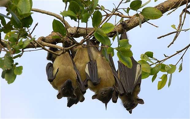 bats-hang_1810640b
