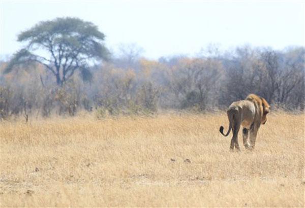 lion-attack-zimbabwe